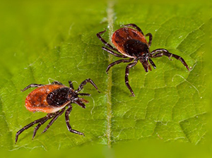 close up of two ticks