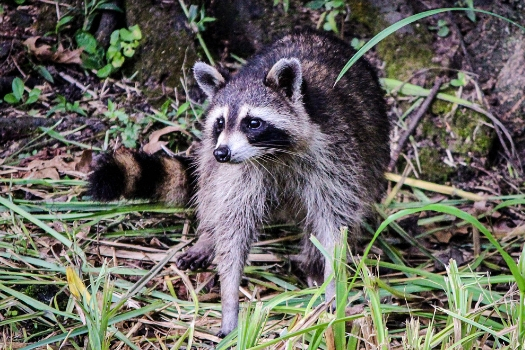 Raccoon's may carry rabies