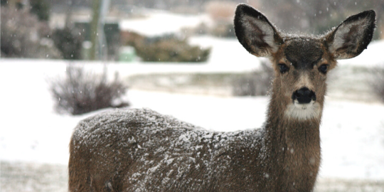 A white-tailed doe looks out from falling snow.